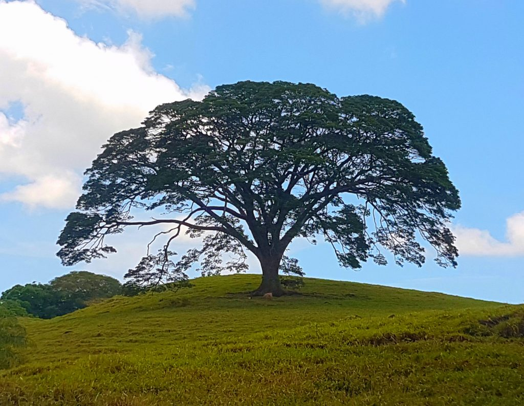 national tree of costa rica