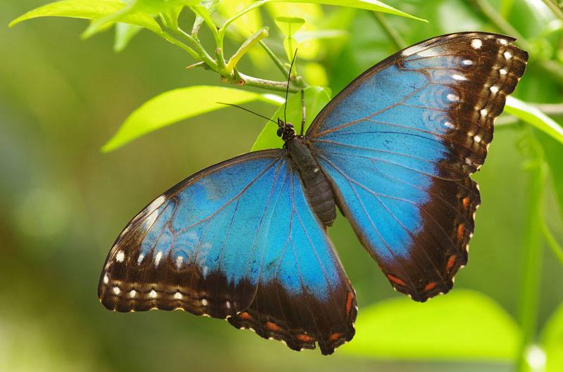butterly blue